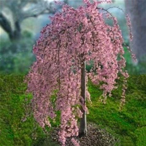 20pc pink weeping cherry tree seeds garden tree suitable for yard ebay