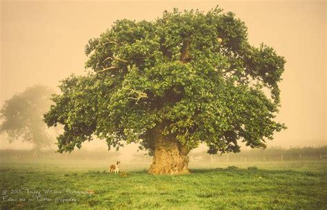 oak tree woodworking 650 year oak is tree of the year mnn