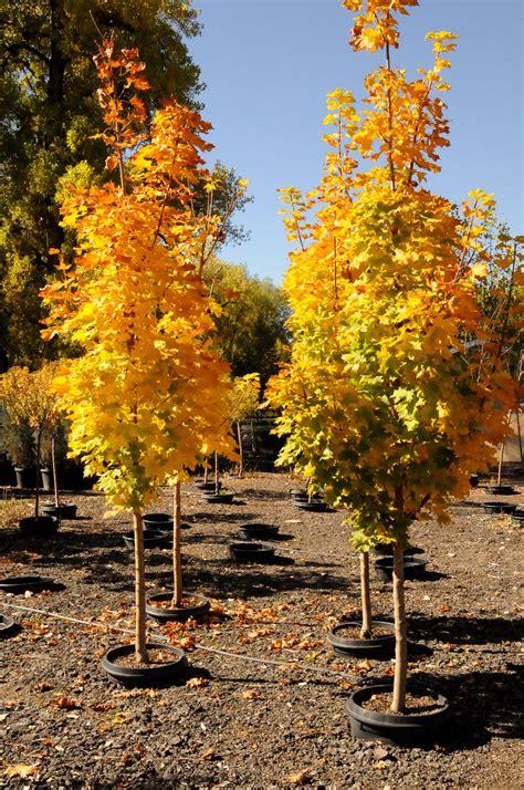 maple tree colorado maple columnar for sale in boulder colorado