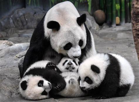 panda china excitement rising panda numbers tempered by virus