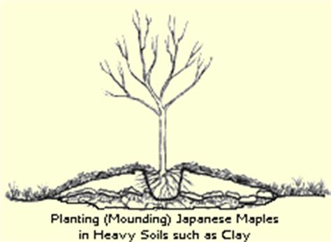 maple tree clay soil maples clay biography