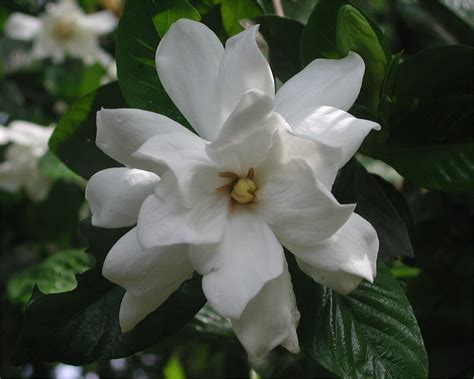 Gardenia Images Gardenia Flower Nature Photo Gallery