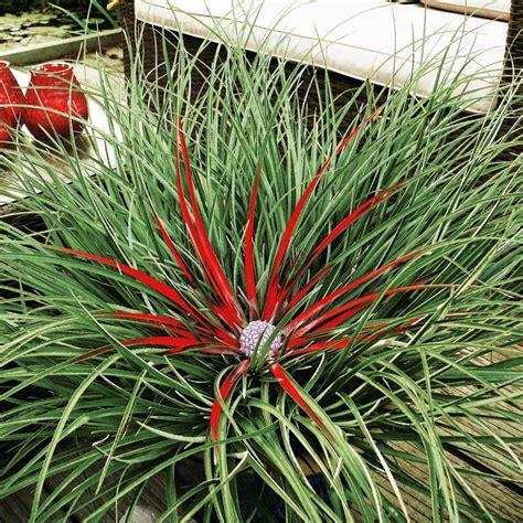 pflanze immergrün winterhart blühend winterharte gartenbromelie kaufen bei ahrens sieberz