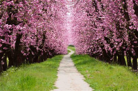 cherry trees cherry wood