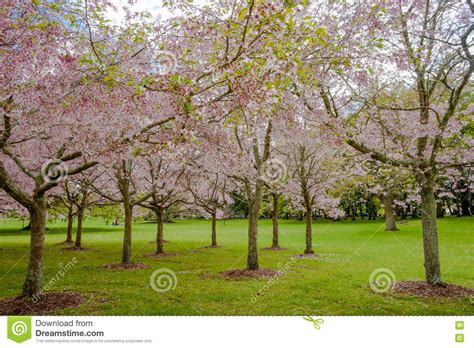 cherry tree nz reviews flowering cherry tree grove in auckland s cornwall park stock image image 74114791