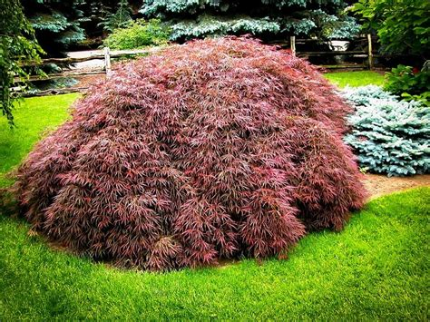 Tamukeyama Japanese Maple For Sale The Tree Center