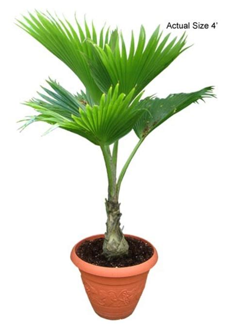 small trees real buy fiji fan palm tree pritchardia pacifica