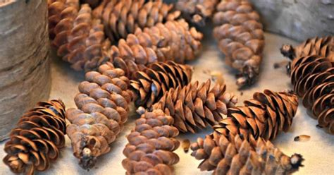 how to preserve pinecones how to pine cones for home decor pine fall and preserve