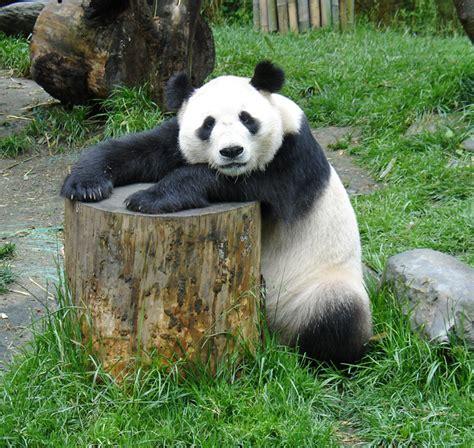 panda china pandas at the wolong research center china travel