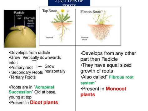 Modification Of Root by Modification Of Roots Modification Of Roots Morphology Of