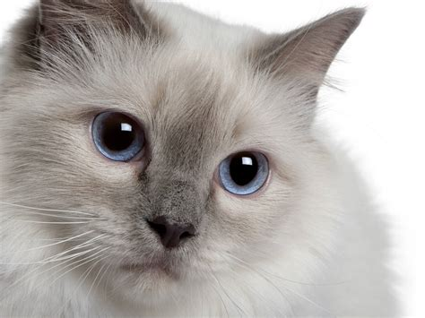 picture of a cat the birman cat cat breeds encyclopedia