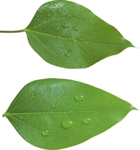 with leaves green leaf png leaves leaves