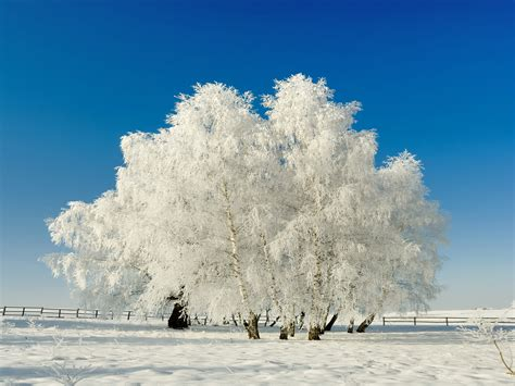 snow frosted tree snow frosted winter tree wallpaper the goodbye