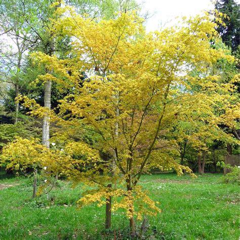 katsura japanese maple tree jan japanese maple acer palmatum and small gardens
