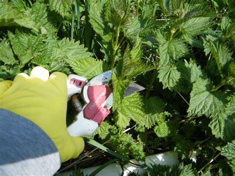 rubber sting tips stinging nettles makaria farm