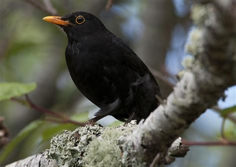 black bird eurasian blackbird new zealand birds