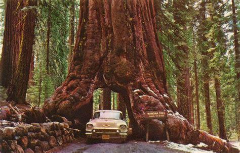 california woodworking moon to moon the wawona tunnel tree