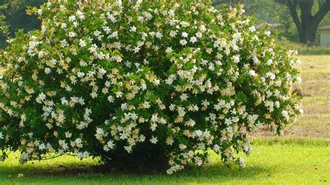 Gardenia Bush Gardenia Bush The Grounds
