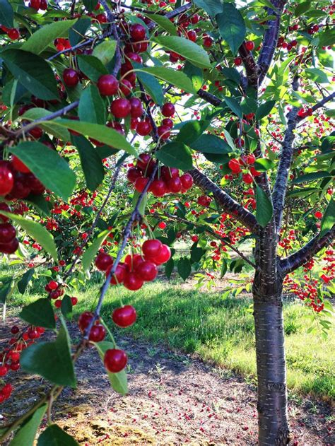 17 best ideas about cherry tree on pink trees tree and indoor fruit trees