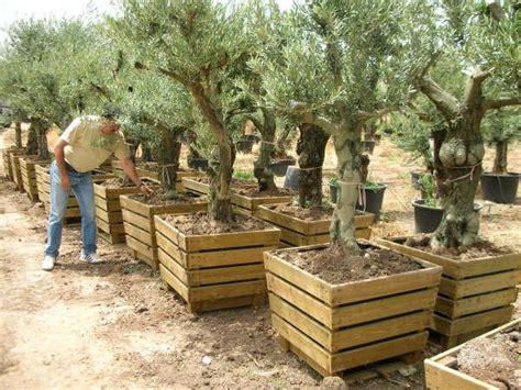olivier pot en pot 80x80