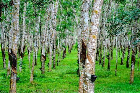 rubber st plantation rubber plantation malaysia rubber