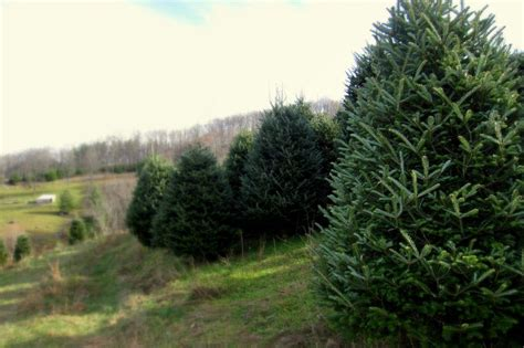 tree farm asheville nc 28 best tree farms in nc mountains
