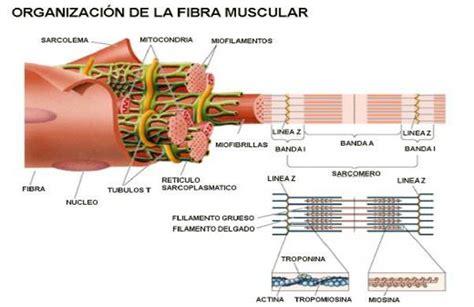 cadenas musculares scribd biofisica del musculo pdf full version free software