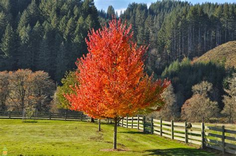 maple tree when to plant october maple tree the planting tree