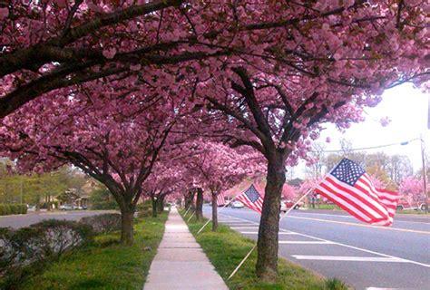 cherry blossoms in cherry hill nj