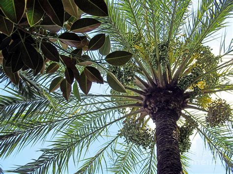 palm tree rubber st date palm and rubber tree branch photograph by tina m wenger