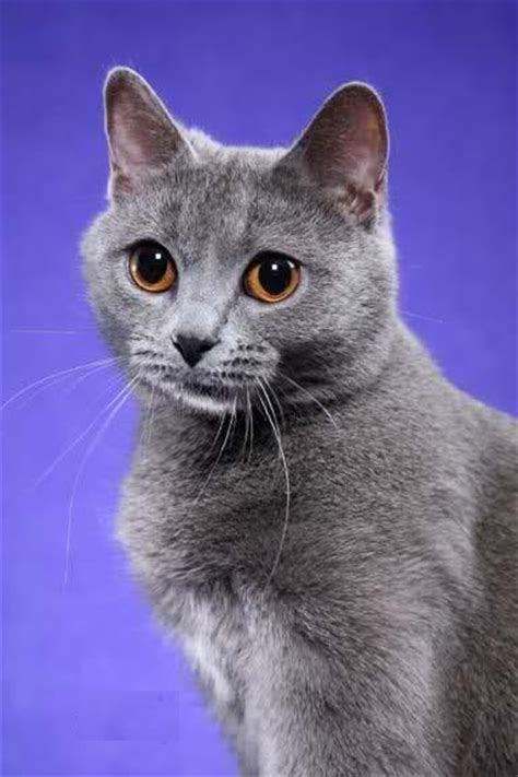 for cats chartreux cat pictures and info cats breeds