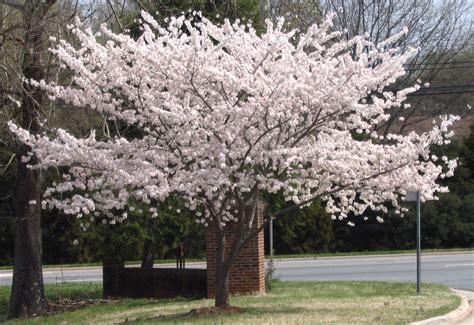 cherry tree yoshino yoshino cherry tree diana digs dirt