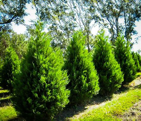 leyland cypress trees leyland cypress trees for sale the tree center