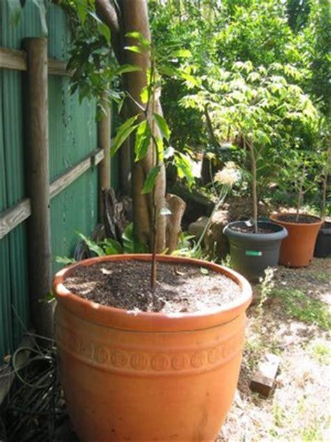 how to pot a tree daleys fruit tree avocado trees fuss pots