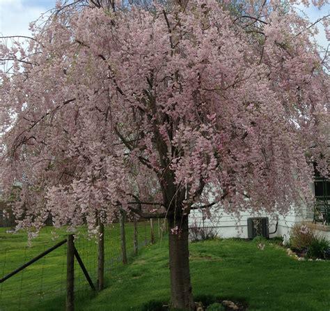 cherry tree weeping weeping cherry tree last vineyard