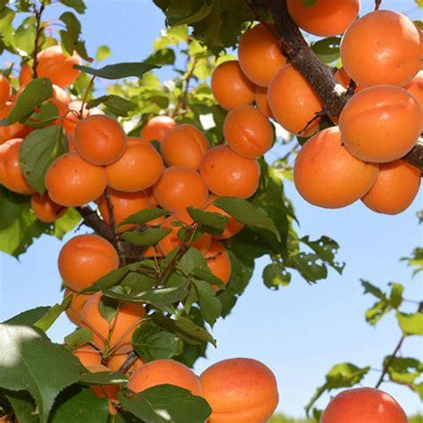 tree for sale australia fruit tree nursery melbourne fruit trees for sale buy