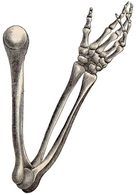 pictures of a skeleton cliparts co