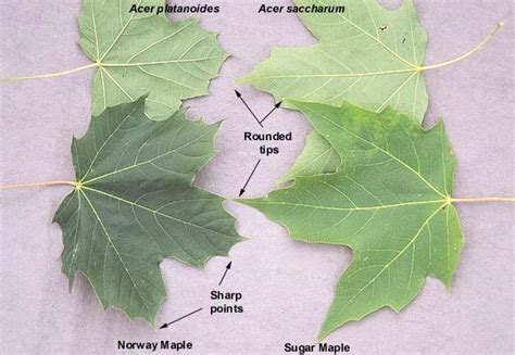 acer platanoides vs acer saccharum landscape plants oregon state