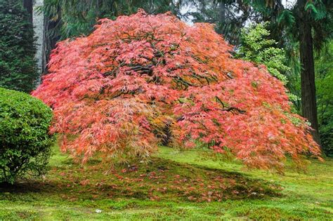 maple tree japanese japanese maple trees everything you wanted to the tree center