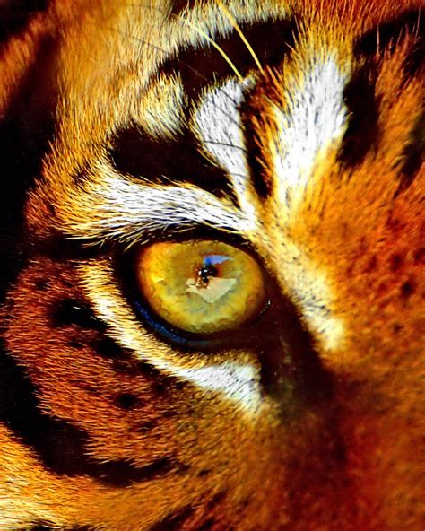 tiger eye tigers eye photograph by marlo horne