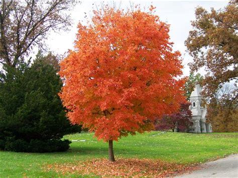 maple tree nursery legacy sugar maple fall color2 landmark landscapes
