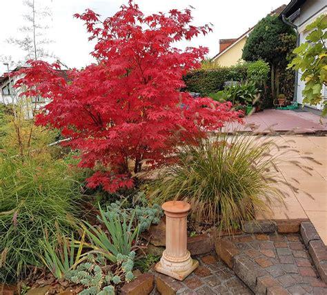 maple tree fertilizer japanese maple fertilizer needs when to fertilize japanese maple trees
