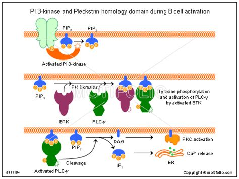pi 3 kinase and pleckstrin homology domain during b cell