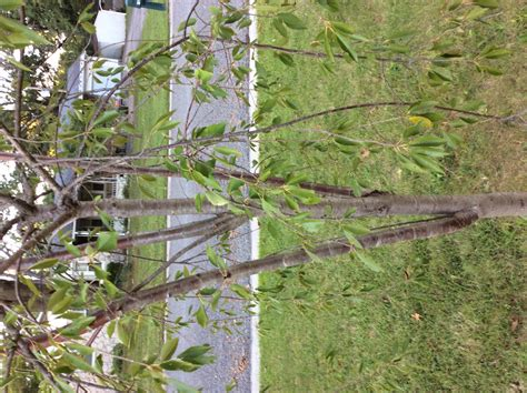 help answer a question about my weeping cherry tree gardening how questions answers