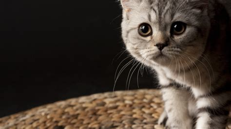Cat Wallpaper by Hd Cat Wallpapers 1920x1080 69 Images