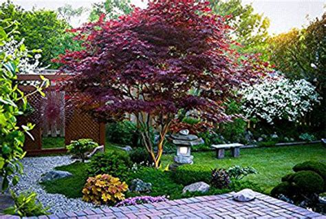 maple tree zone 10 emperor japanese maple tree for sale fast growing trees