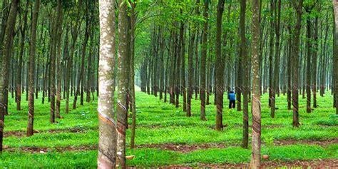rubber st tree rubber tree rainforest www pixshark images