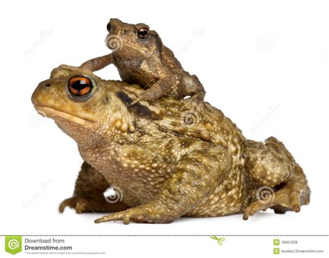 Mother Common Toad And Her Baby, Bufo Bufo Royalty Free ...