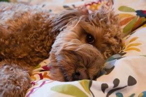 puppy lust puppies lightyellow