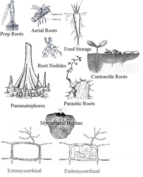 Modification Of Root by Modification Of Roots Anatomy Physiology Science